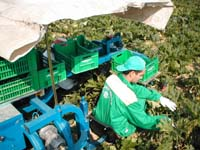 Courgette Harvester